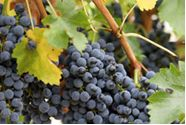 Red Grapes Image