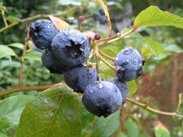 bilberry origins consumption nutrition facts health benefits