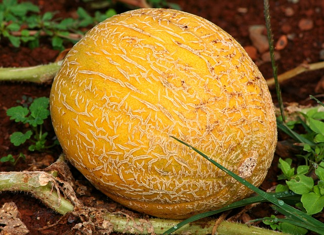 Cantaloupe Origins Consumption Nutrition Facts Health Benefits Cantaloupes have high content of polyphenol antioxidants which enhance the immune function and cardiovascular system. nutritious fruits
