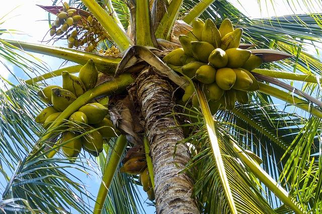 coconut origins consumption nutrition facts health benefits
